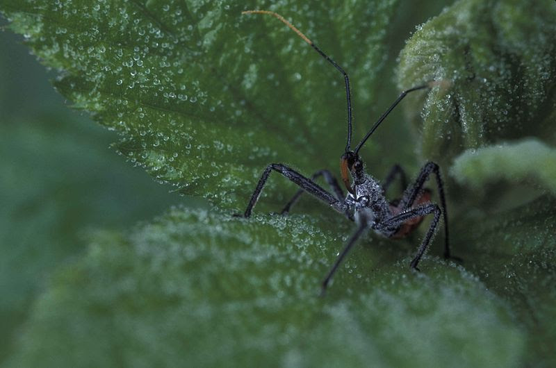 File:Assassin bug on a green leaf with moisture beads.jpg