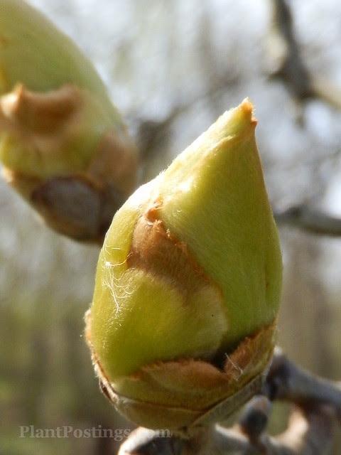 hickory bud
