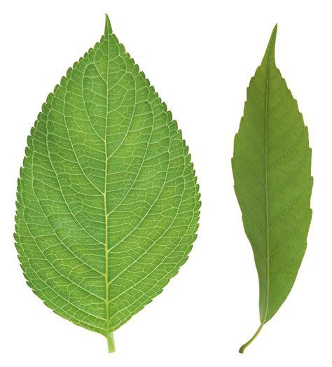 green leaves png image purepng  transparent cc