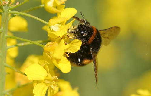 Bumble Bee by Deanster1983, on Flickr