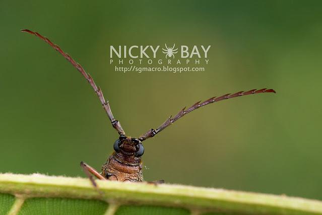Longhorn Beetle (Cerambycidae) - DSC_9385