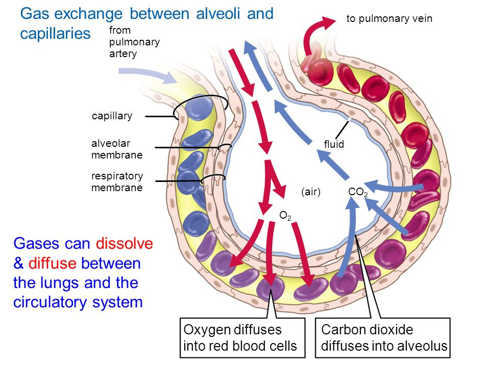 Gas+exchange+between+alveoli+and+capillaries