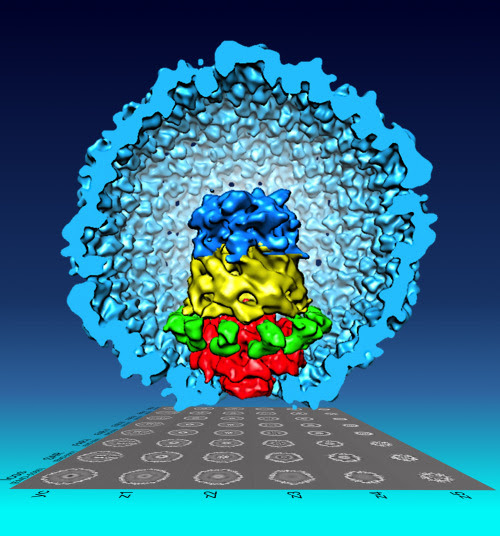 laboratoryequipment:  Virus Particles Have More Individuality than ThoughtVirus particles of the same type had been thought to have identical structures, like a mass-produced toy, but a new visualization technique developed by a Purdue Univ. researcher revealed otherwise.Wen Jiang, an associate professor of biological sciences, found that an important viral substructure consisted of a collection of components that could be assembled in different ways, creating differences from particle to particle.Read more: http://www.laboratoryequipment.com/news/2013/05/virus-particles-have-more-individuality-thought