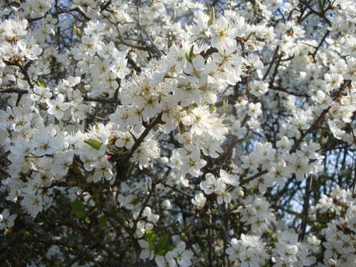 Hawthorn blossom by Rhian vK