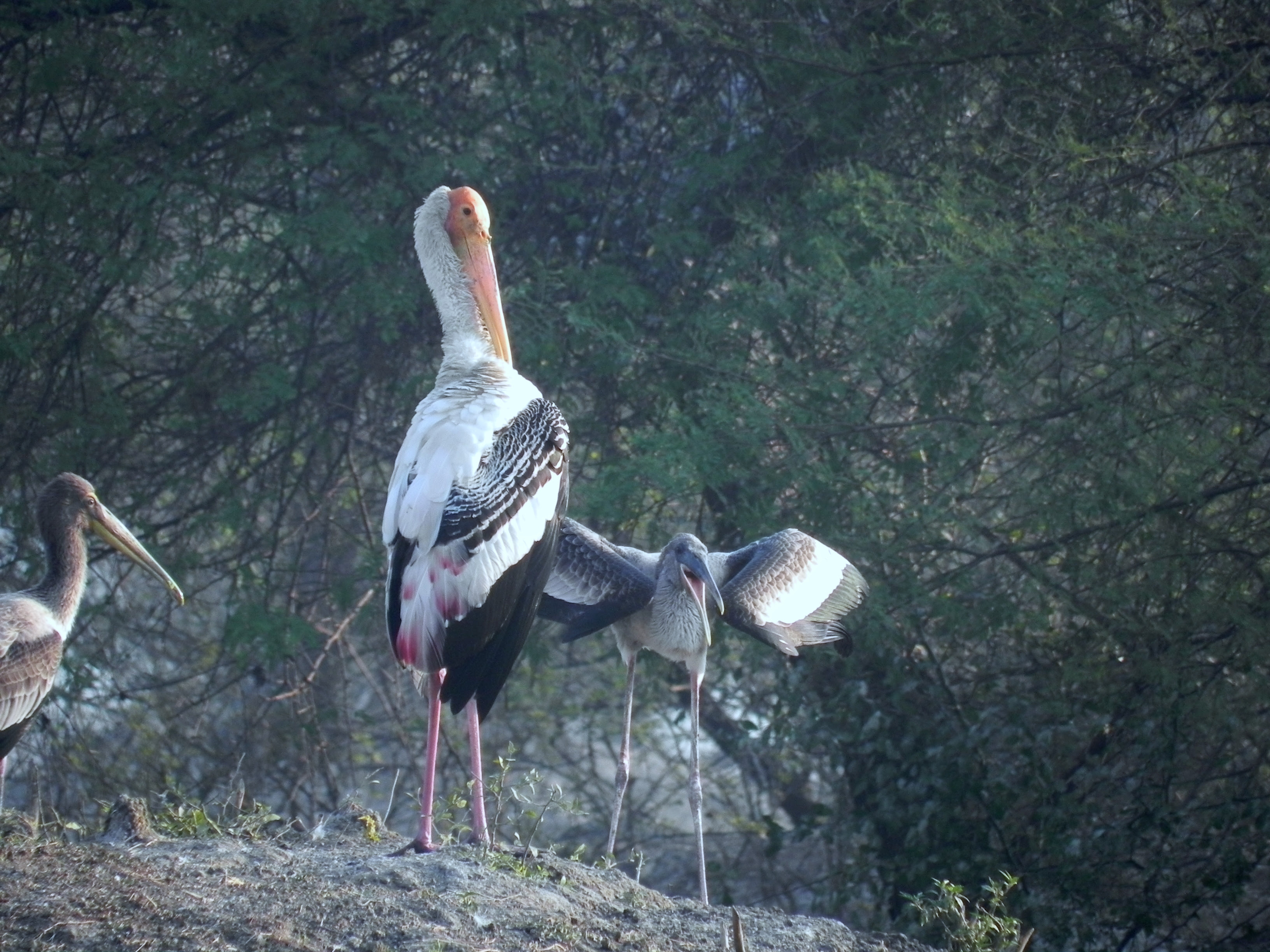 Painted Stork, Keoladeo National Park