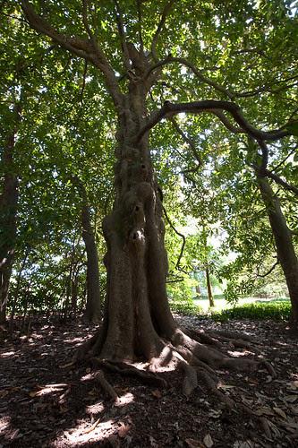 Huge Magnolia Grove.