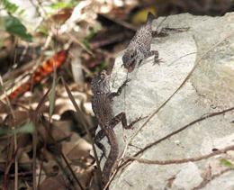 Anole lizards fighting