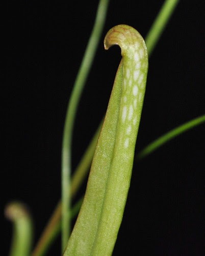 Sarracenia minor x 'Love Bug'