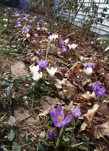 Crocuses in the front