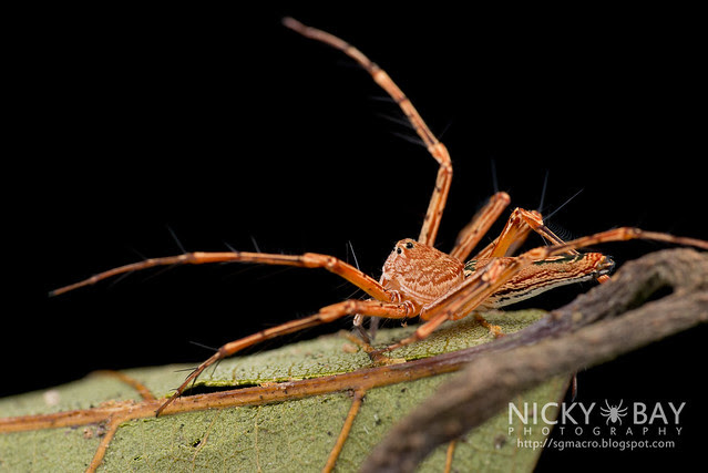 Lynx Spider (Oxyopidae) - DSC_1968