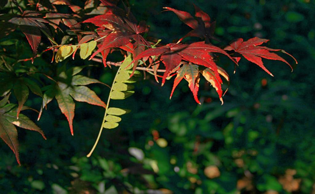 japanese maple leaf burn. Fallen Leaf and Japanese Maple