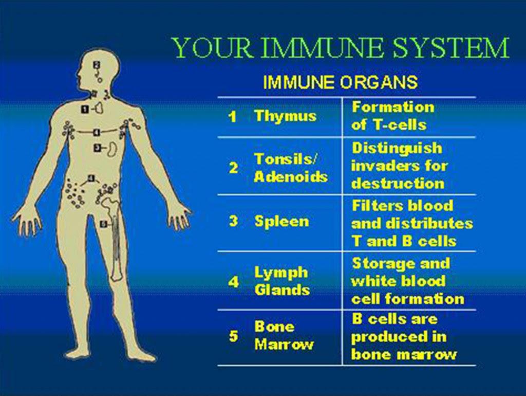 Immune System2 1024x770