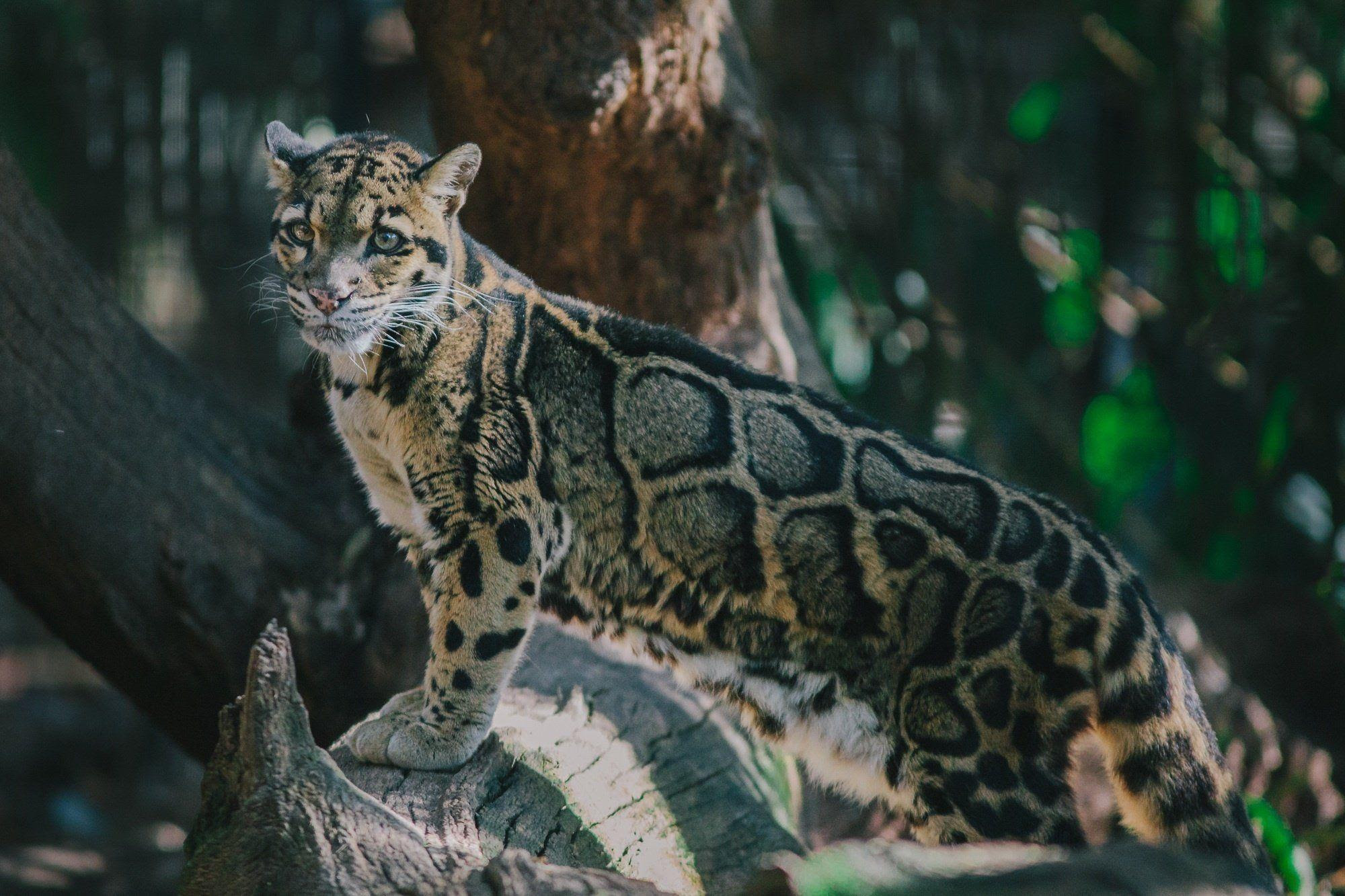 Clouded Leopard Wallpapers - Wallpaper Cave