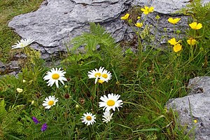 English: Burren flowers / Bláthanna na Boirne ...