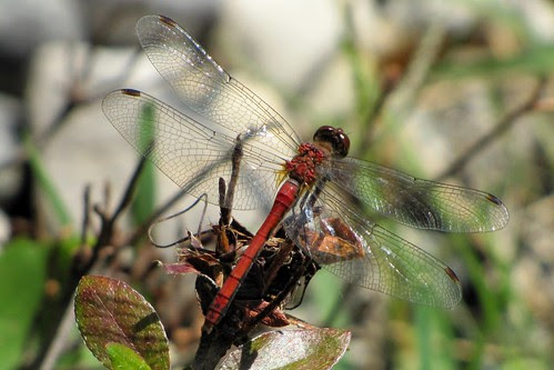IMG_2943_Dragonfly