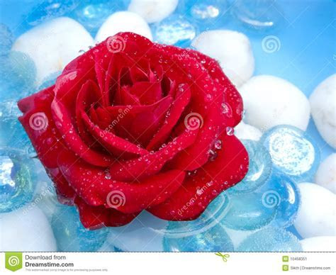 Red Rose with Dew Drops stock image. Image of flower
