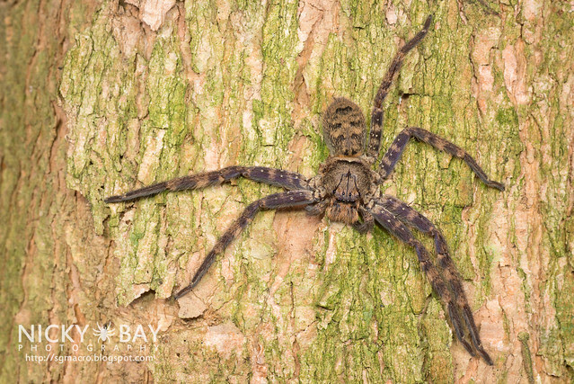 Huntsman Spider (Heteropoda lunula?) - DSC_1739