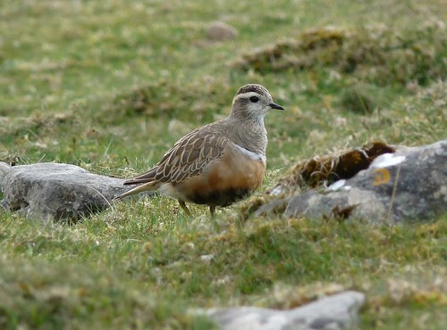 12433 - Dotterel at Cefn Cadlan
