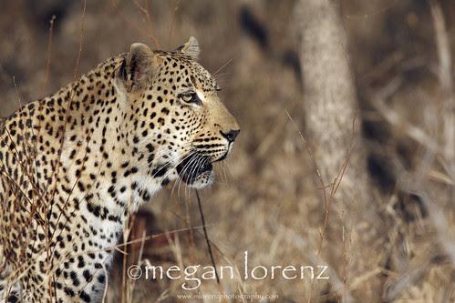 Big Five Feline by Megan Lorenz