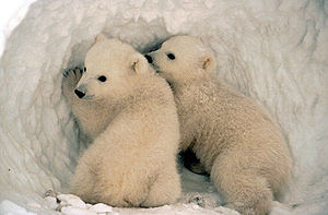 English: Polar Bear (Ursus maritimus) cubs.
