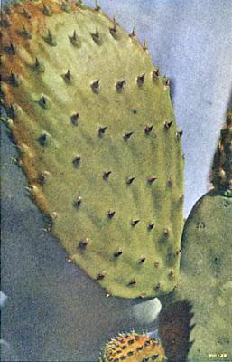 Spineless Cactus - Vestigial Leaves