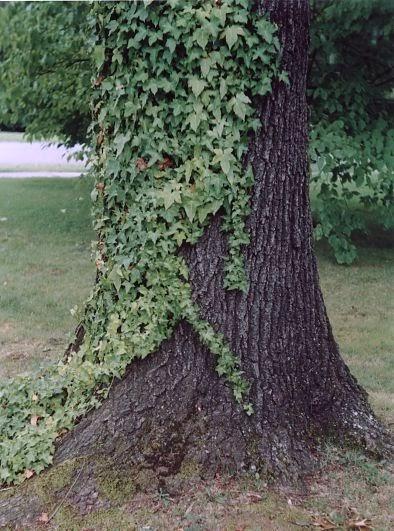 symbiotic relationship between bromeliad and tree