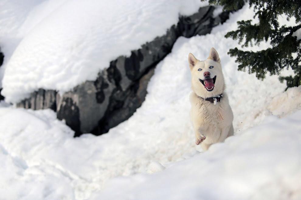 Сибирский хаски явно незнаком со снегом, радуется в Анталии, Турция