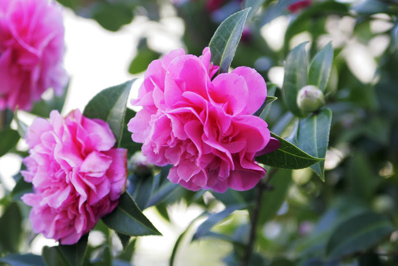 Double-flowered_Camellia
