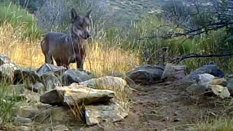 Una familia de lobos se asienta en la Sierra de Guadarrama