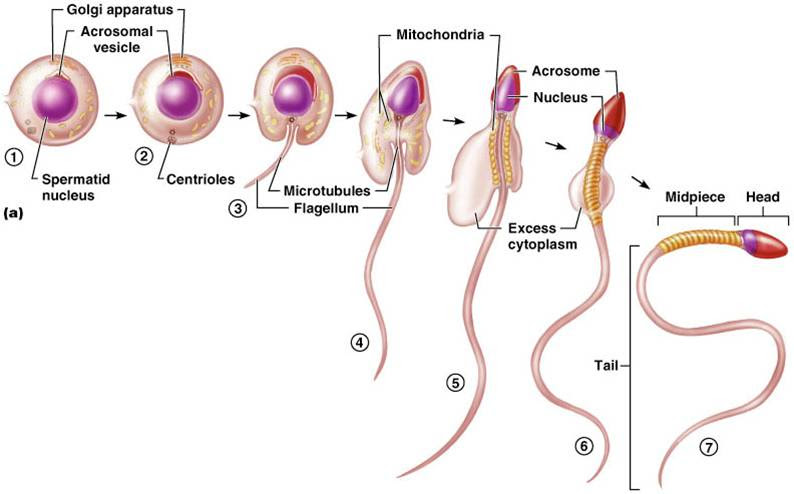 What Are The Best Ways To Increase Sperm Count?