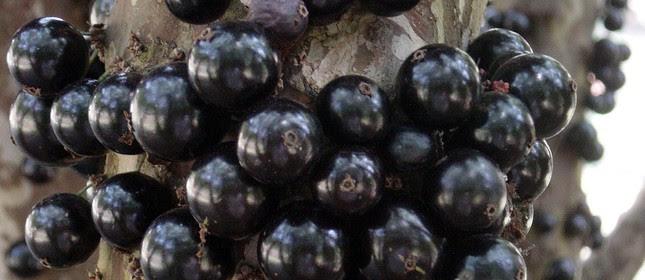A jabuticaba, também chamada guapuru ou fruita (Foto: Arquivo Google)