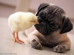 Cách lựa chọn chó Pug thuần chủng qua tính cách