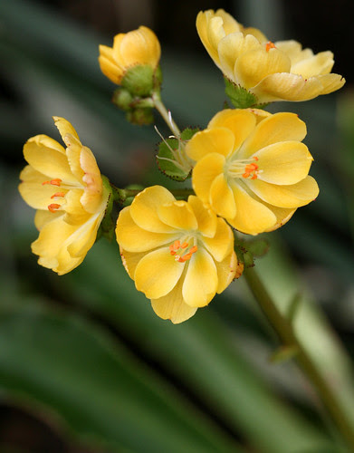Lewisia 'Yellow Form'