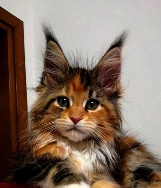Craigslist Sale Maine Coon Cat Kittens For Sale - Baby ...