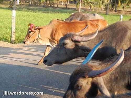 Cow vs Water Buffalo