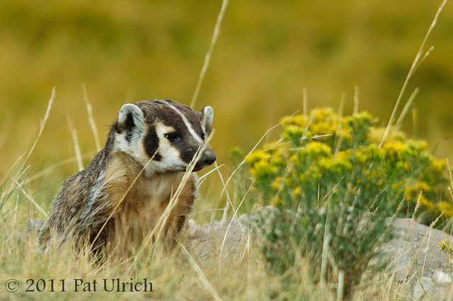 American badger in Yellowstone National Park