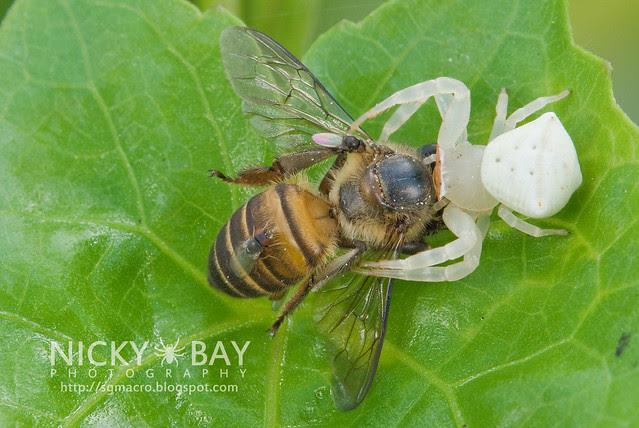 Crab Spider (Thomisidae) - DSC_8396