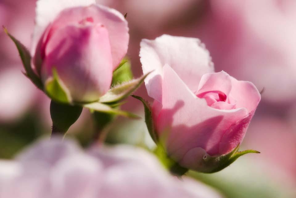 ゆんフリー写真素材集 No 3025 ピンクのバラ 日本 東京