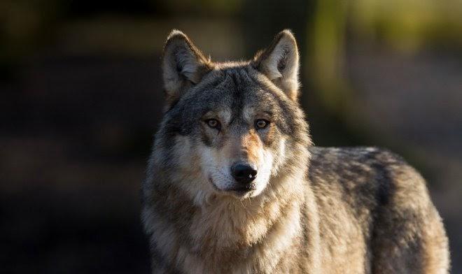 Ученые из Томска установили: волки обладают самосознанием