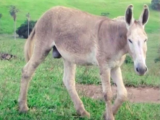 Jegue 'Furão' teria cruzado com uma vaca que deu à luz 'Coelhinha' (Foto: Reprodução/ TV Bahia)