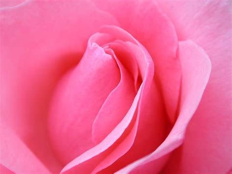 rose flowers sweetest images collection