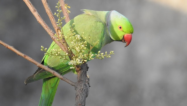 The Rose-ringed parakeet is protected under India law, it cannot be traded or kept as a pet. Photo courtesy Neha Sinha