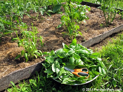 Growing and harvesting green and purple basil in the kitchen garden 1 - FarmgirlFare.com
