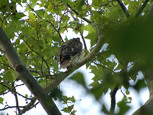 Cathedral Red-Tail Fledgling #1