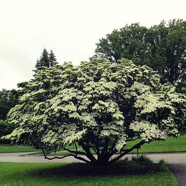 The dogwood at the end of our driveway... #beauty, #1000gifts
