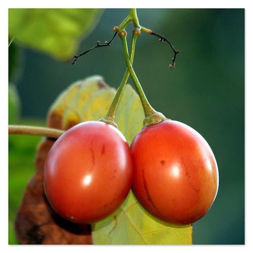 tomates de árbol
