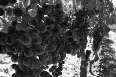 Ehlers Estate - Vineyard