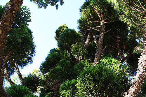 Oyster Bay Pine Tree Photo