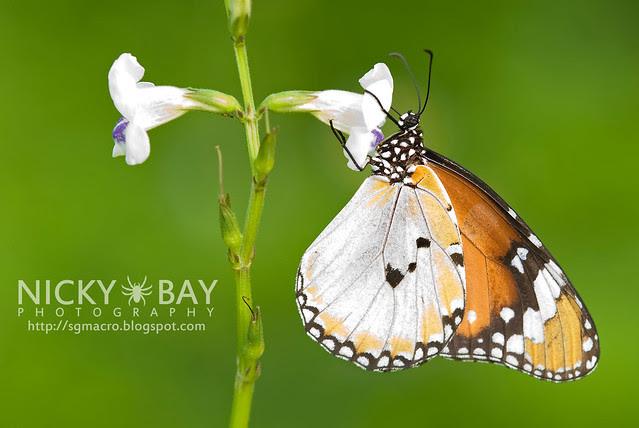 Plain Tiger (Danaus chrysippus) - DSC_9316