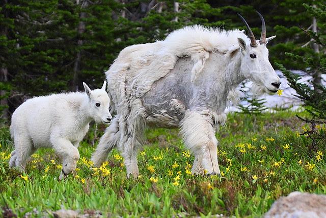 IMG_4472 Mountain Goat Nanny and Kid, Glacier National Park